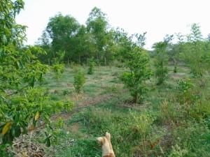 VB orchard
