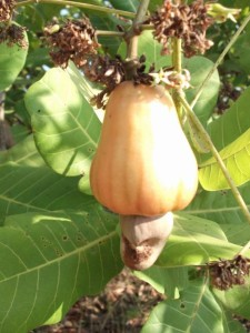 cashew fruit and nut