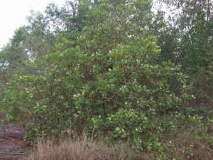 cashew tree 1