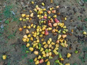 discarded cashew fruit